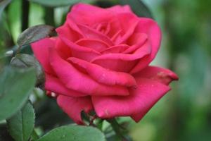 red rose 7/2011